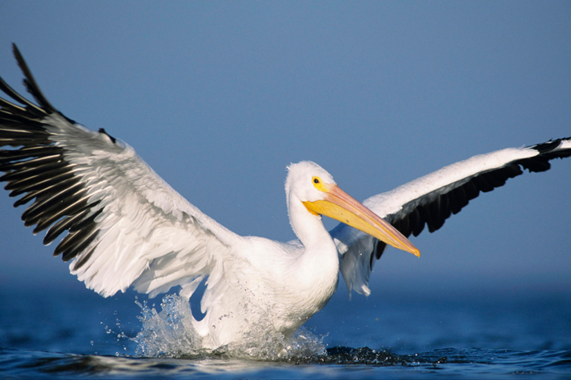 White Pelican with its wings spread.