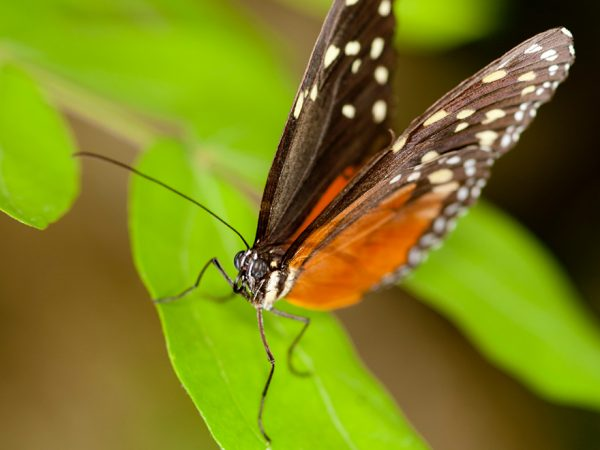 small black and orange butterfly with white spots on the upper edges of its wings