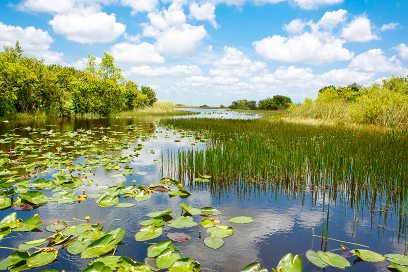 The water of the Everglades filled with green water lilies and sawgrass. Green trees and shrubs line the edge of the water.