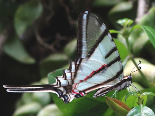 small white and black striped butterfly on leaves