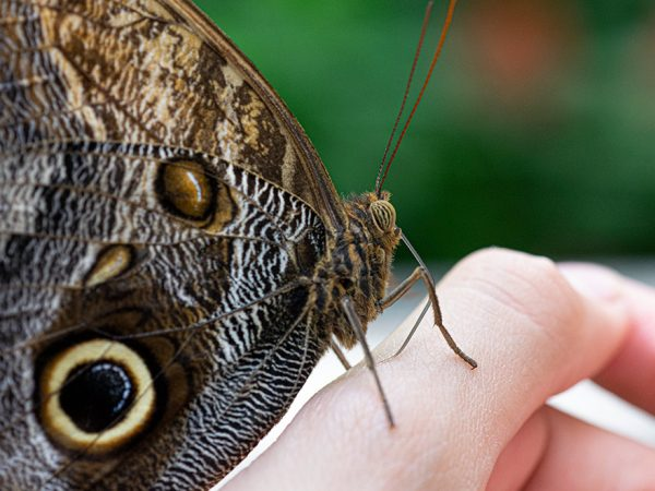 brown butterfly with large eye spot at rest on a person's hand