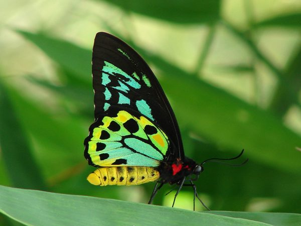 large black butterfly with intricate yellow and green markings