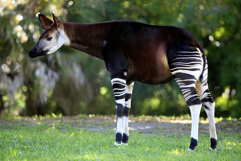 deer-like animal with striped legs