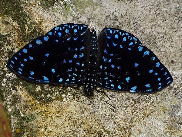dark butterfly with dark blue spots sitting on a rock