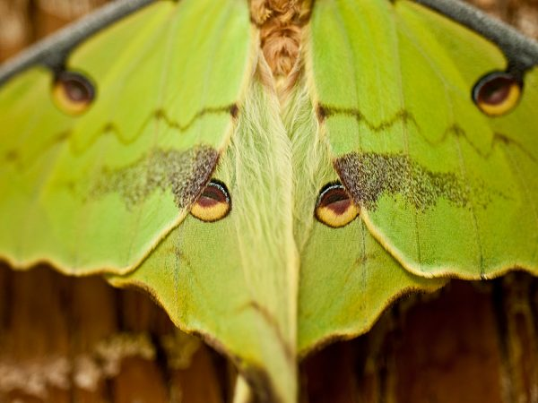 close up of a greenish moth with eye patterns on its wings