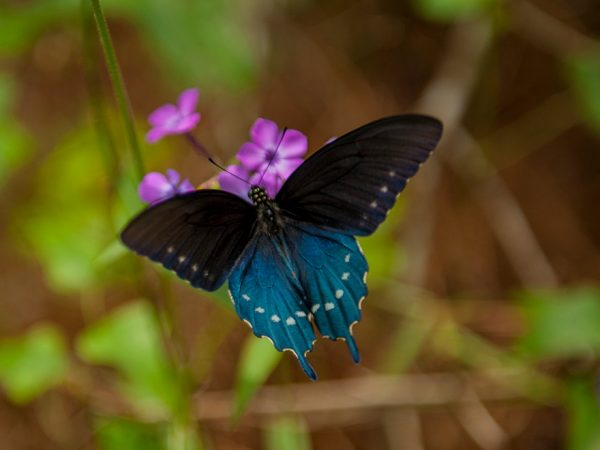 dark colored butterfly with shimmery blue patches sitting on small flowers