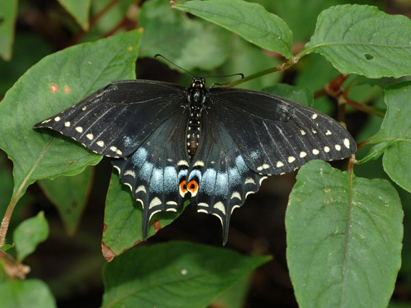 large dark butterfly with elaborate marking on the ends of its wings