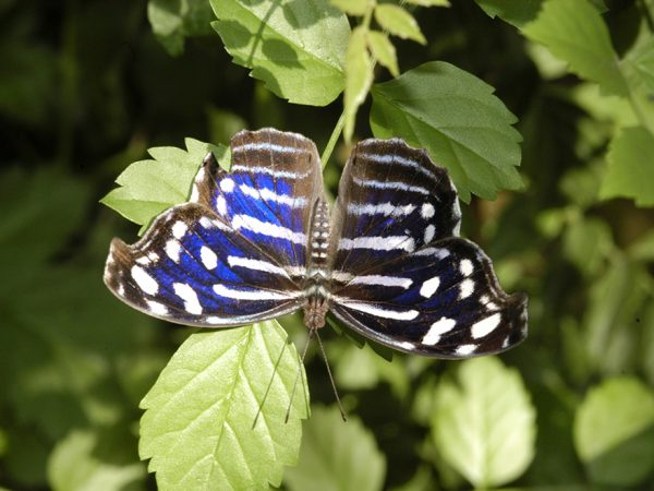 small vibrant blue butterfly with stripes on foliage