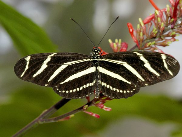 black and white striped butterfly sitting on a red flower frond