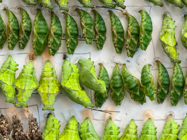 many bright green chrysalis in rows on paper