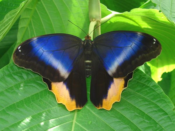 Butterfly with its wings spread, top of the wings are bright blue and black with a faint cream stripe running along the blue. The bottoms of the winds are black with a bright yellow stripe.