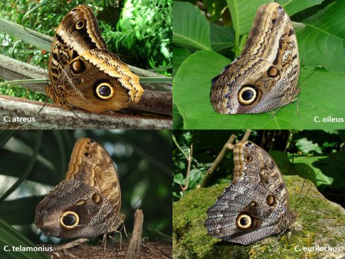 Four species of Owl butterflies with their wings closed to show the color variations. Each species has various shades of gray, brown, and cream. All have the distinct 'owl eye' spot.