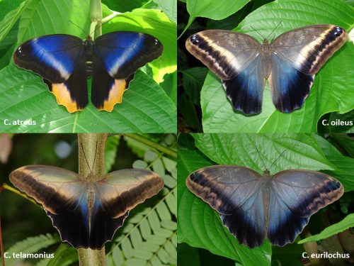 Four species of Owl butterflies with their wings spread to show the color variations. Each species has various shades of blue, from bright to dusty blue-gray.