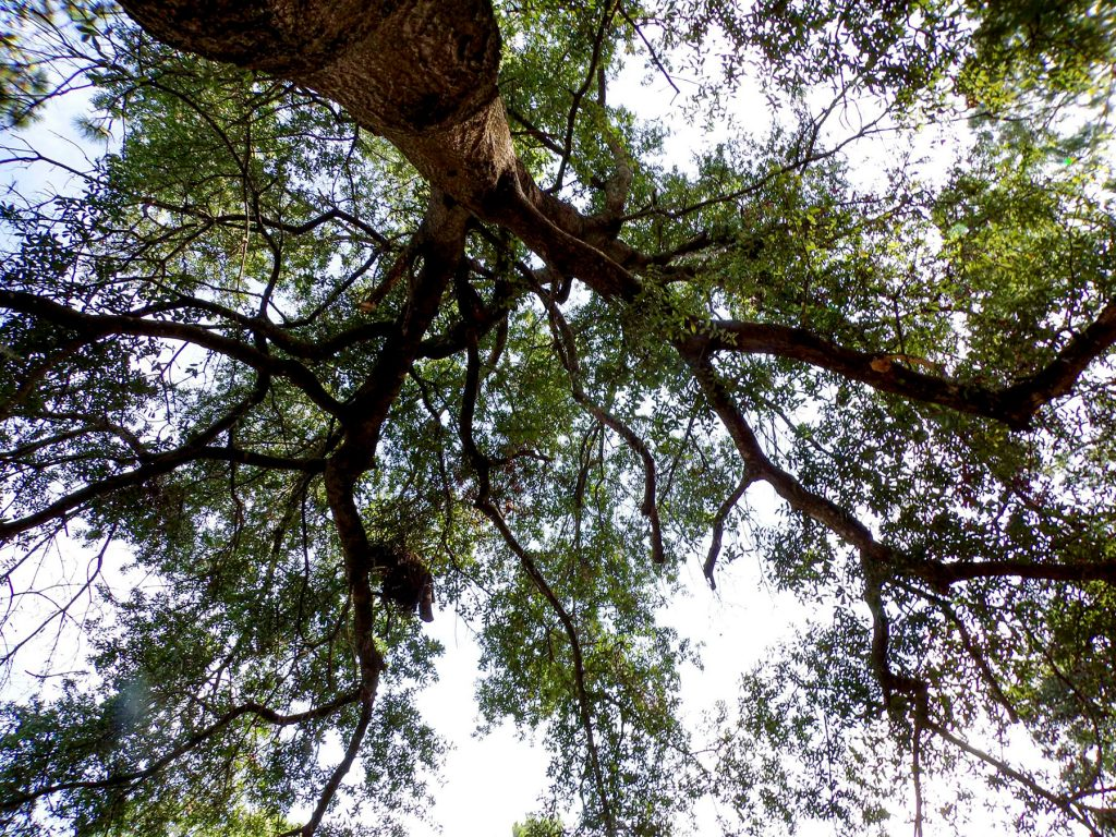 looking up into the canopy of a tree