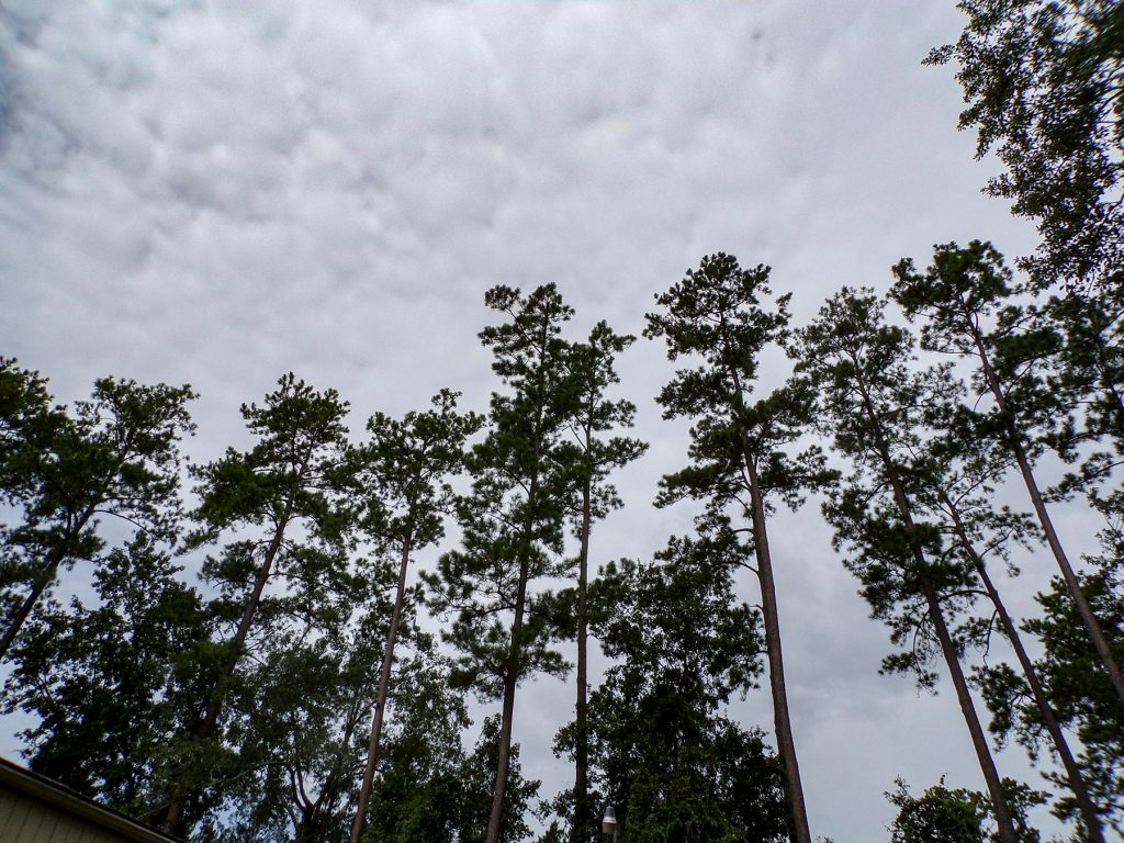tall pine trees with cloudy sky behind them