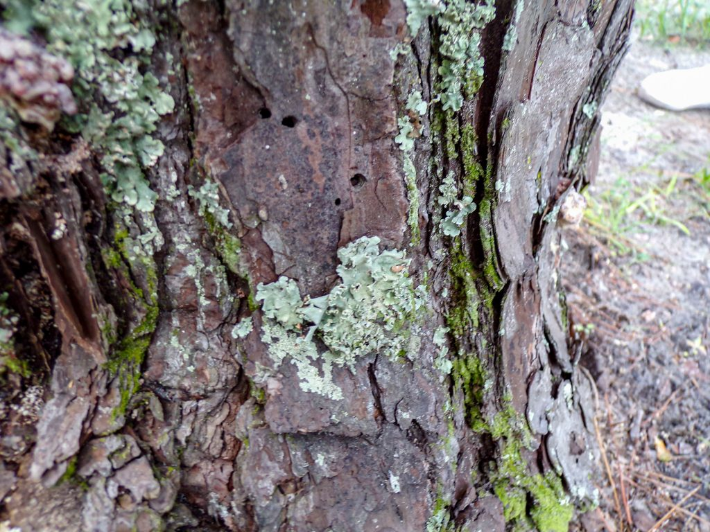 lichen on the trunk of a pine tree
