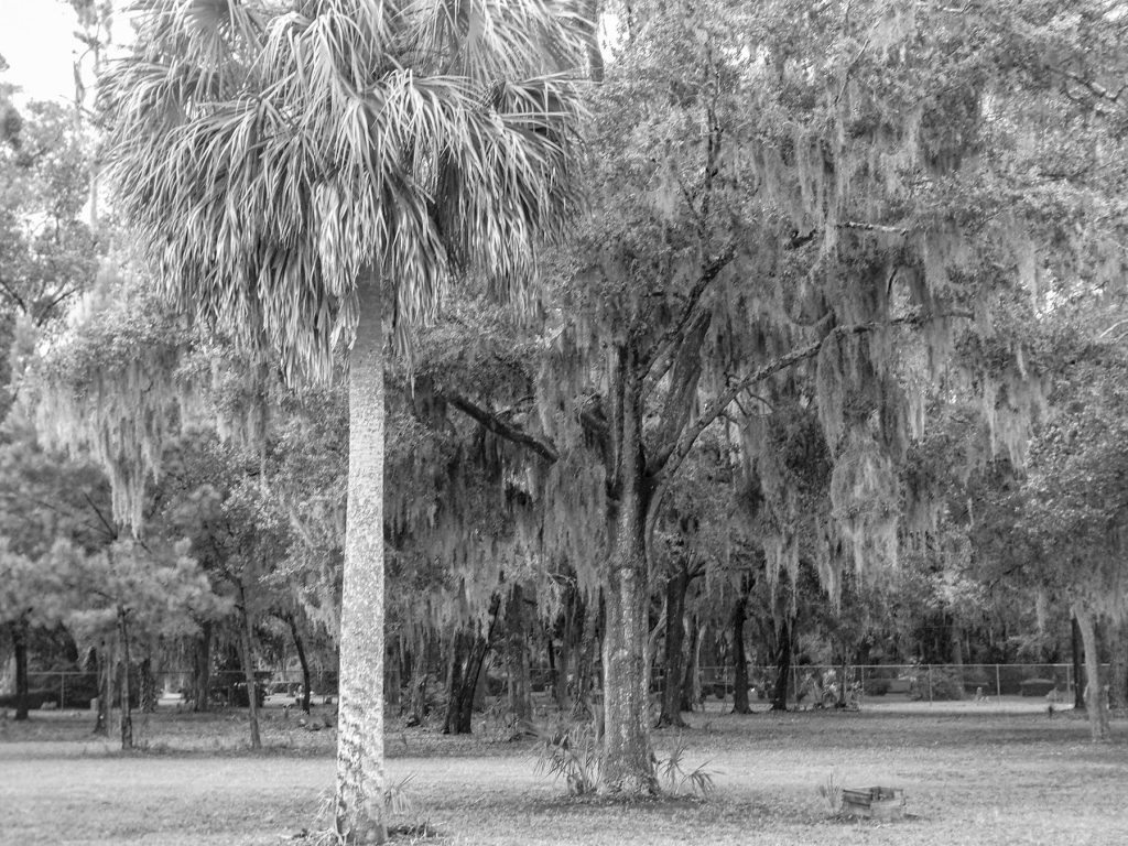 black and white photo of a palm tree and oak trees with Spanish moss