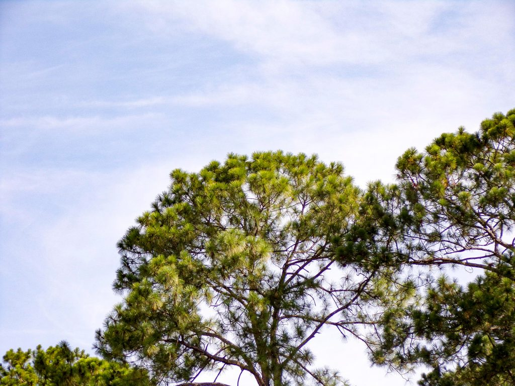 pine tree and blue sky with clouds