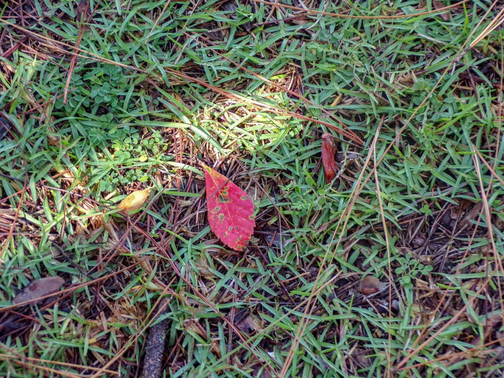 red leaf on the ground surrounded by grass