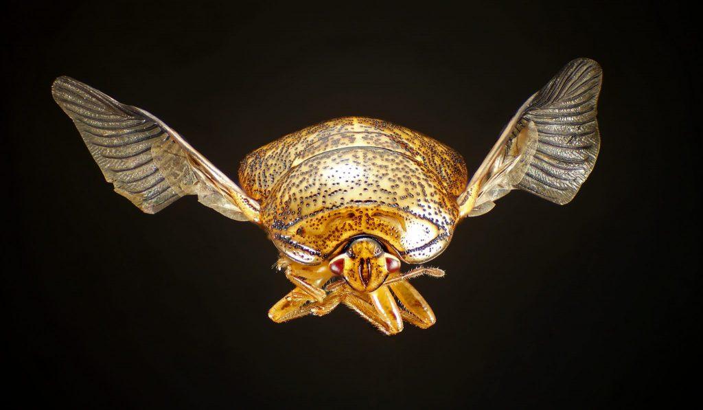 close up shot of kudzu bug