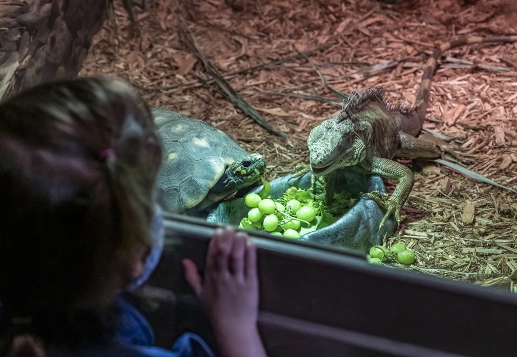 person looking into enclosure with tortoise and iguana