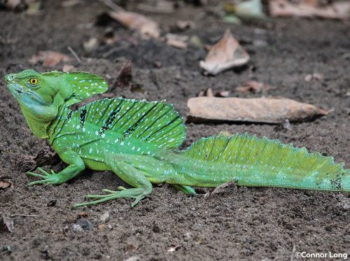 green basilisk on ground