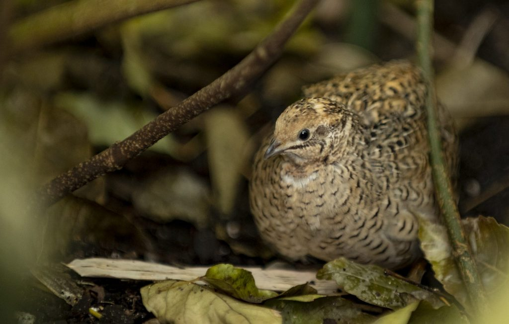 quail hiding in leaves
