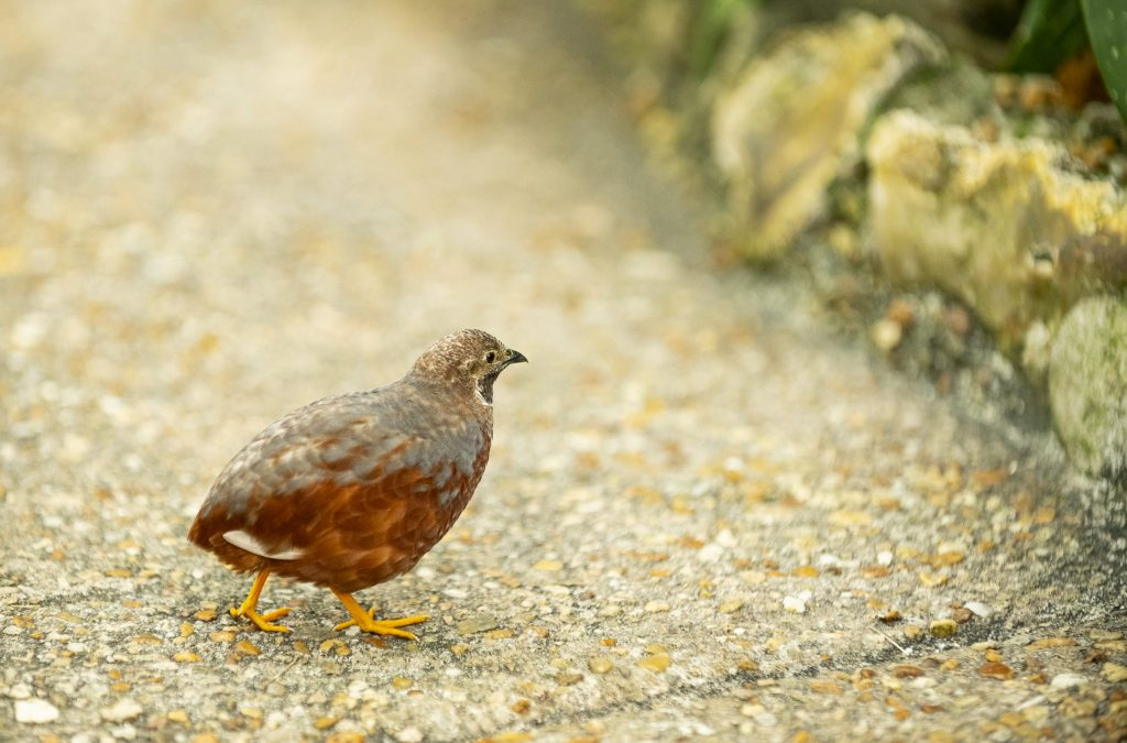 quail on path in butterfly rainforest