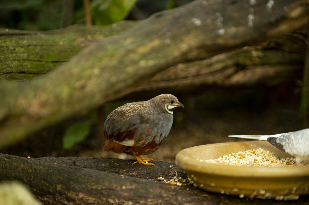 quail sitting next to plate of bird seed