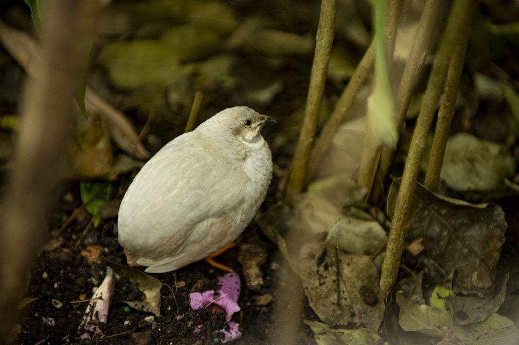light grey quail