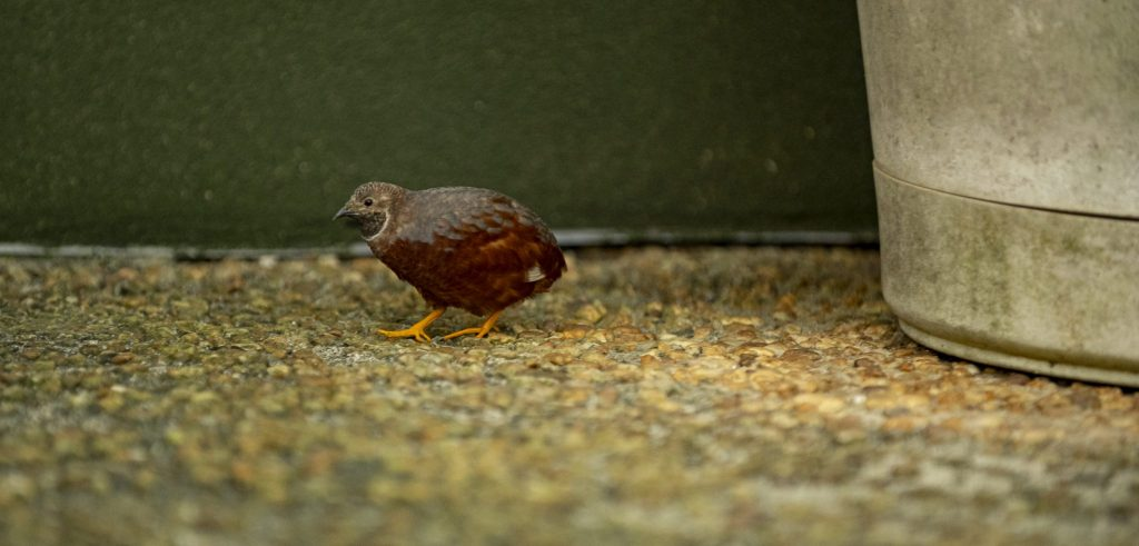 brown and grey quail on path in butterfly rainforest