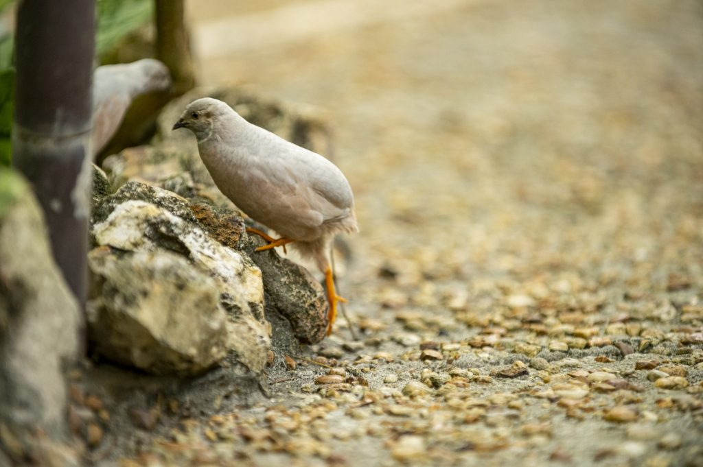 light grey quail on path in butterfly rainforest
