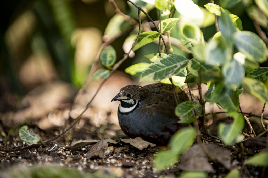 quail hiding under leaves