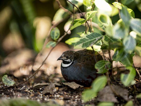 quail hiding under leaves