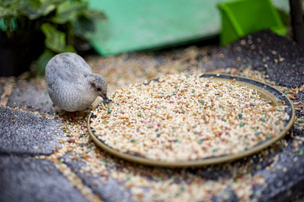 quail eating bird seed