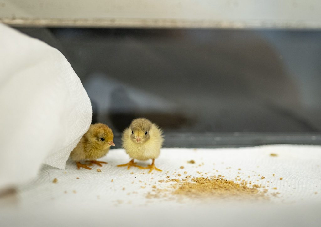two yellow quail chicks sitting next to bird food