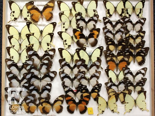 African Swallowtail Collection in drawer