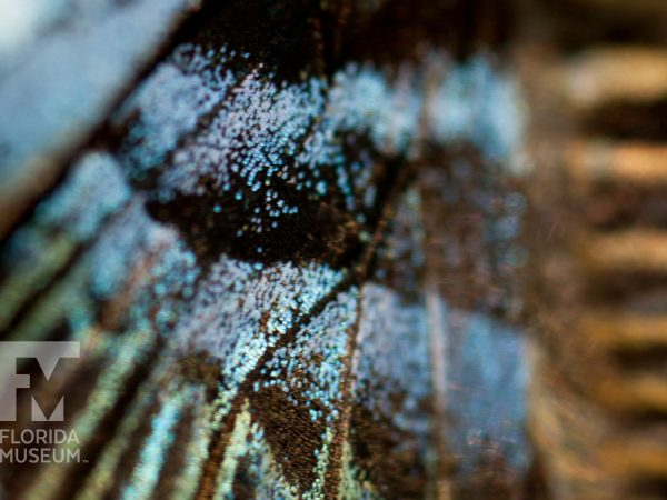 Clipper butterfly, Parthenos sylvia, wing scales.