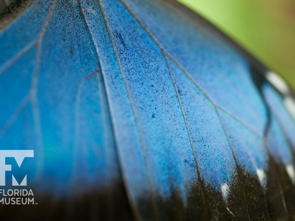 Blue morpho wing scales