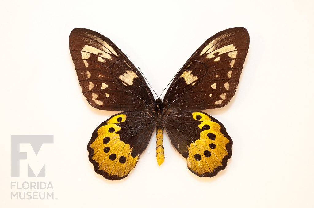 large brown butterfly with yellow crescents