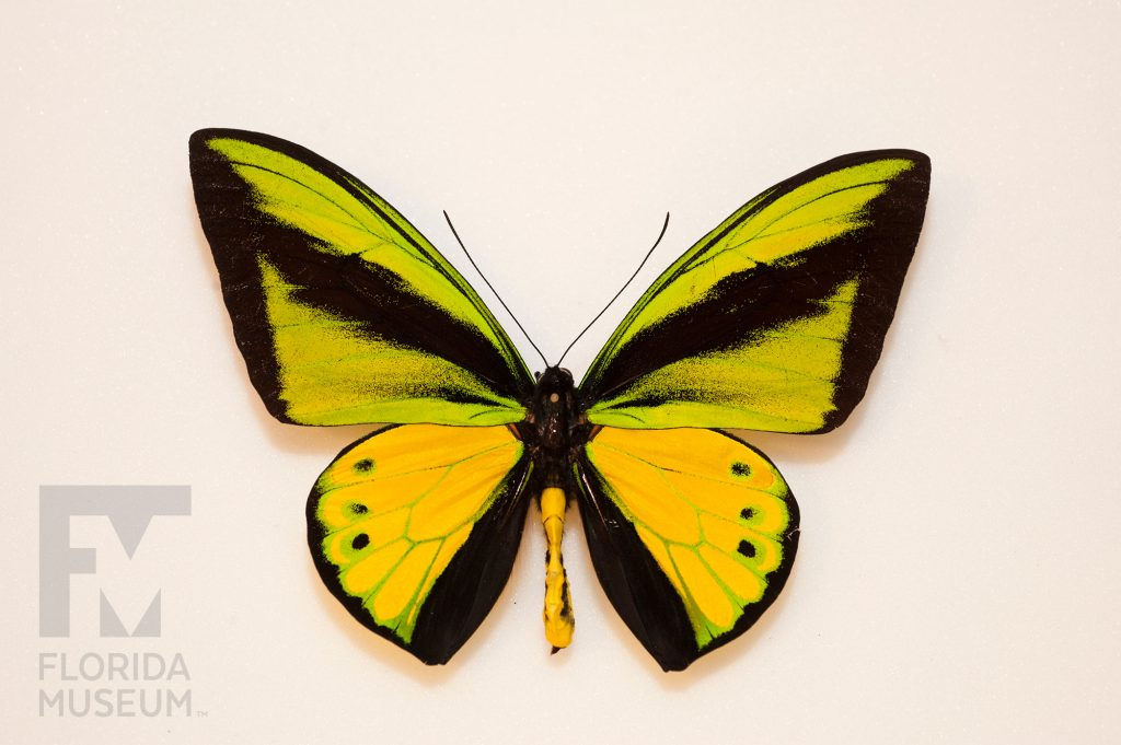 large black and yellow butterfly specimen