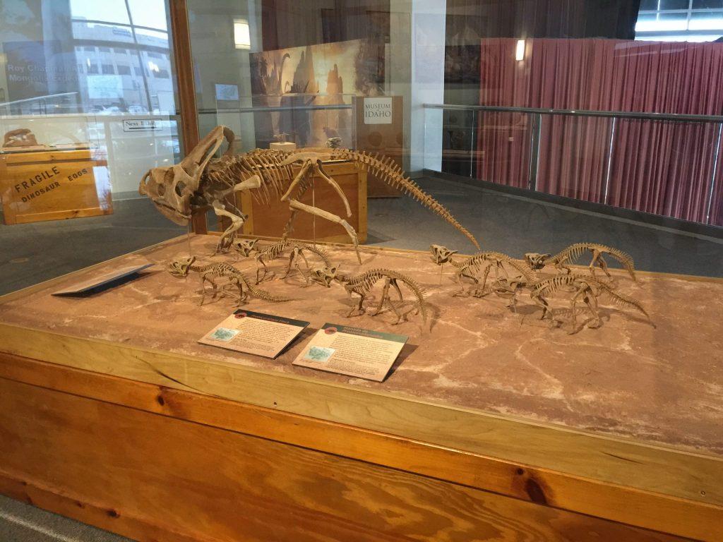 dinosaur family skeleton in case