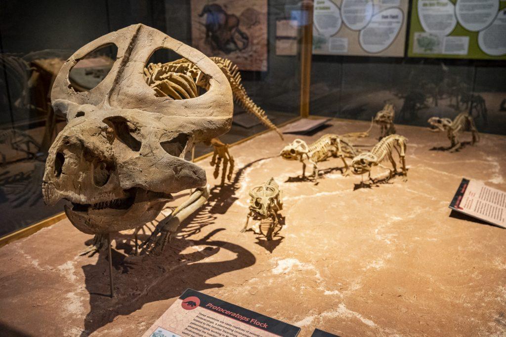 family of protoceratops skeletons