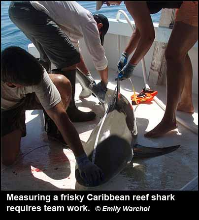 Measuring a frisky Caribbean reef shark requires team work.