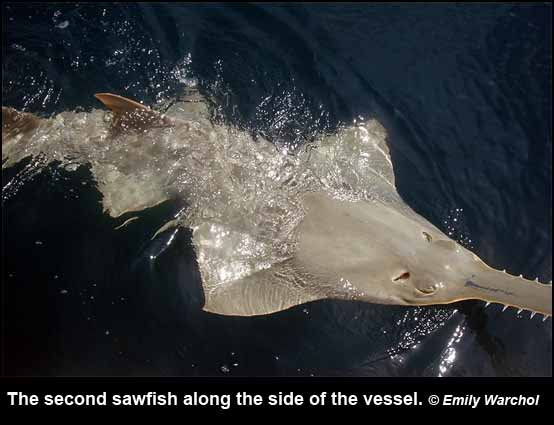The second sawfish along the side of the vessel