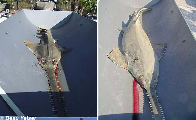 sawfish comparison debris