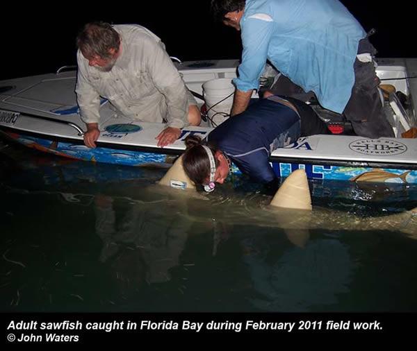 sawfish crew