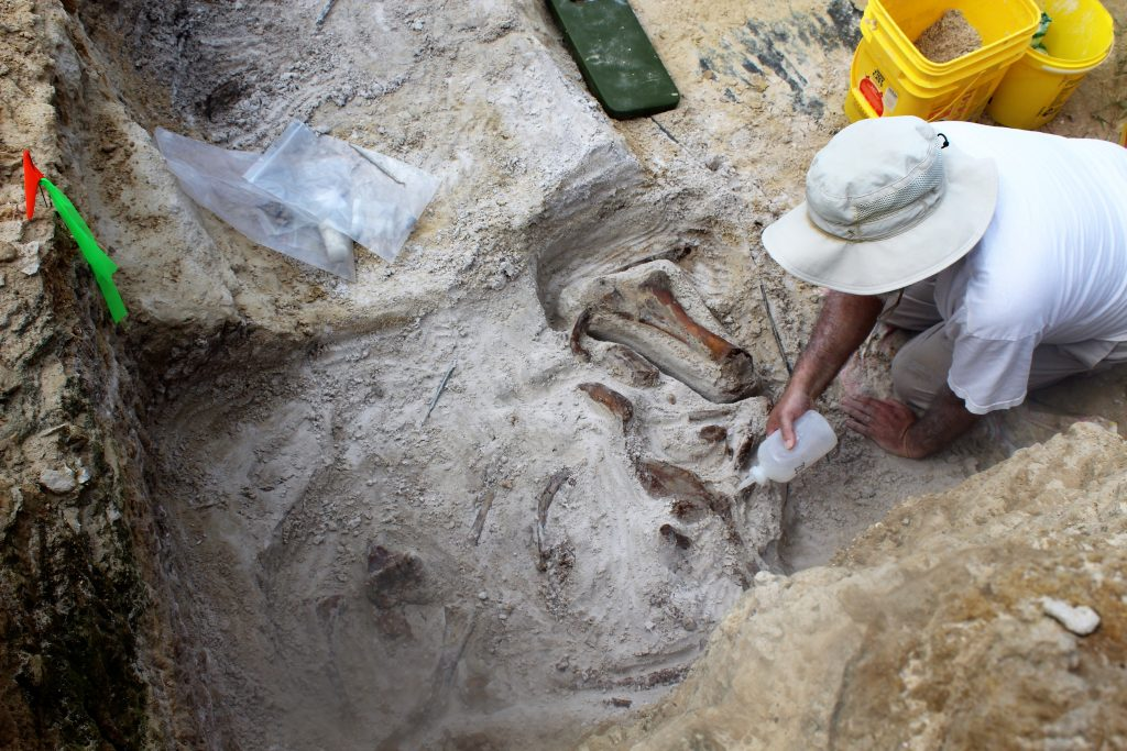 Vertebrate Paleontology Collections Manager, Richard Hulbert, adding glue to the fossils of the 'elephant bone bed'.