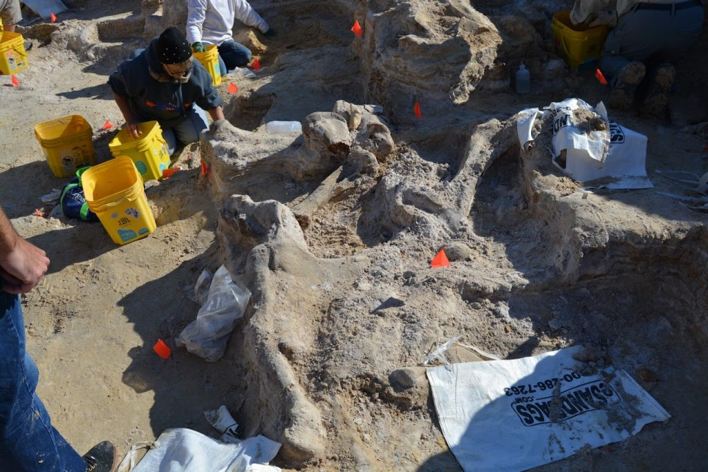 The squares around my dig area. Several gomphothere limb bones are exposed and will be put into plaster casts.