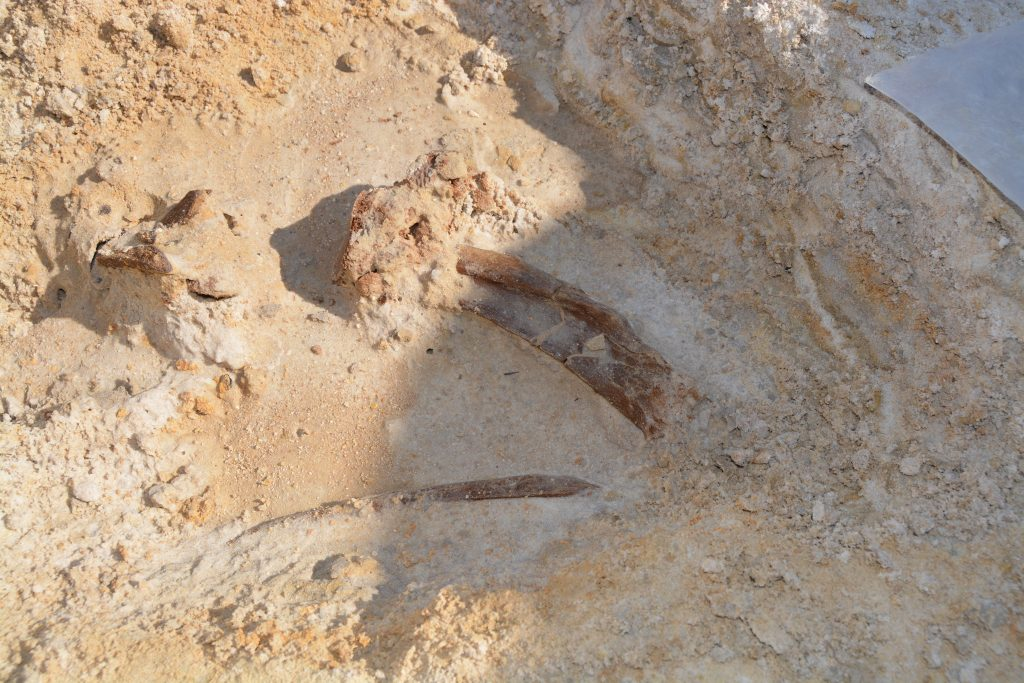 After digging into the soft sandy soil with a short screwdriver, I soon uncovered two gomphothere ribs and what appeared to be a few crushed vertebral elements. The fossils were moist when first exposed, but soon dried out.